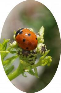 ladybugoval