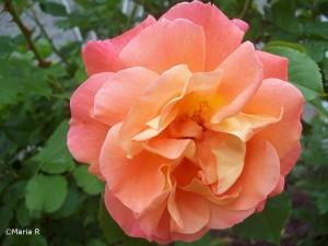 rosor video foto 029