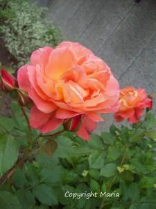 rosor video foto 030