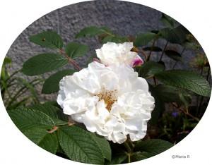 Vit ros juni