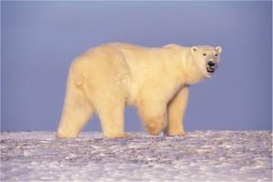 polar-bear-529638_640