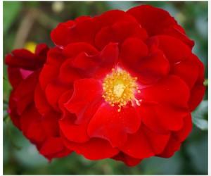 röd55