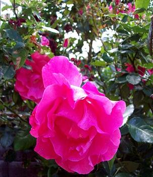 rosor Foto Maria